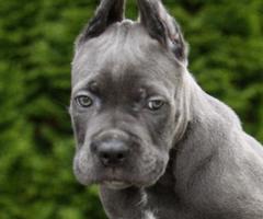 Grey male